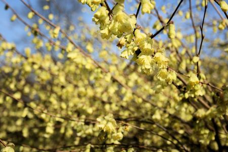 blossoming yellow flower tree: witch-hazel blooming
