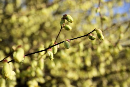 buds in witch-hazel photo