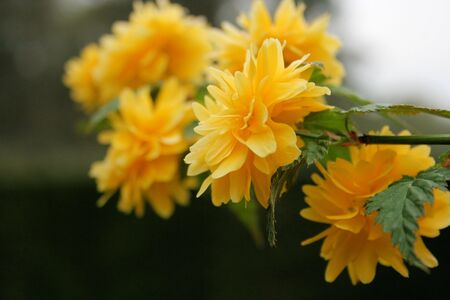 japonica: kerria japonica