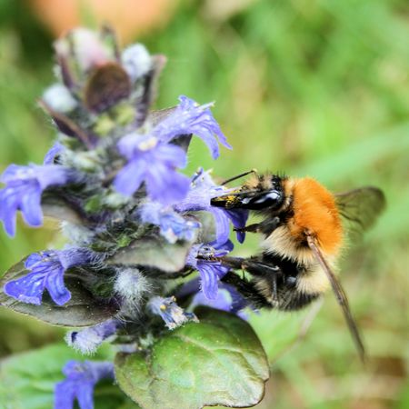 bumble bee on Ajuga reptans photo