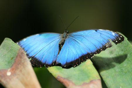 morpho menelaus: mariposa azul