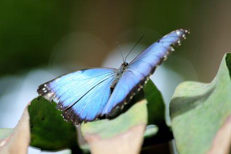 morpho menelaus: blue butterfly
