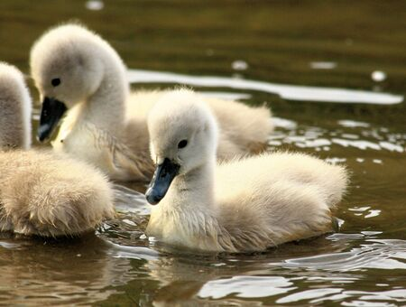 ugly duckling: very young swan chicks