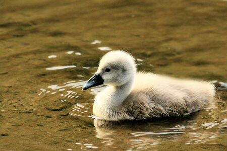 ugly duckling: cute swan chick