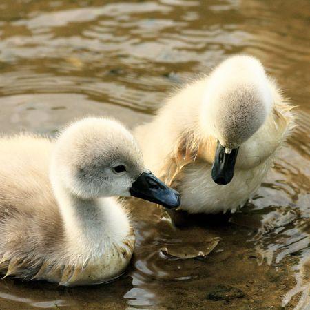 ugly duckling: pretty swan chicks
