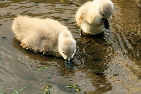 ugly duckling: disarming swan chicks