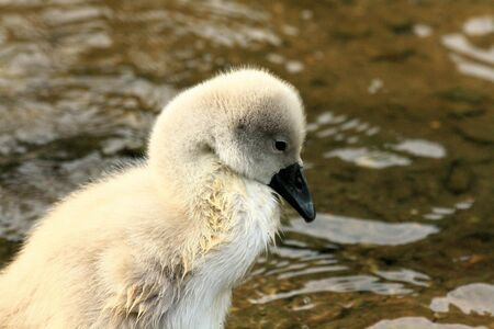 ugly duckling: charming swan chick