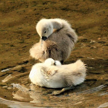 ugly duckling: cute swan chicks