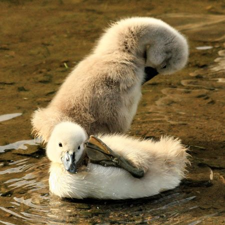 ugly duckling: funny swan chicks