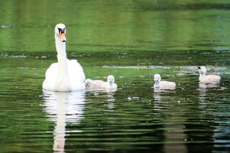 ugly duckling: mother swan with cute chicks