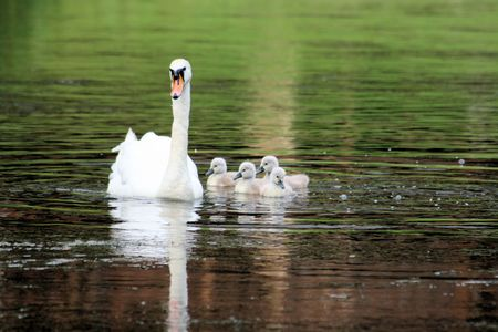 ugly duckling: mother swan with 4 chicks