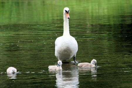 ugly duckling: mother swan with very young chicks