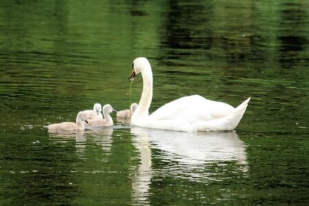 ugly duckling: mother swan with lovely chicks