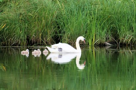 ugly duckling: mother swan with her chicks