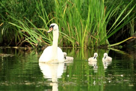 ugly duckling: mother swan with chicks