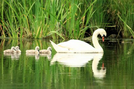 ugly duckling: lovely sight of mother swan with chicks Stock Photo