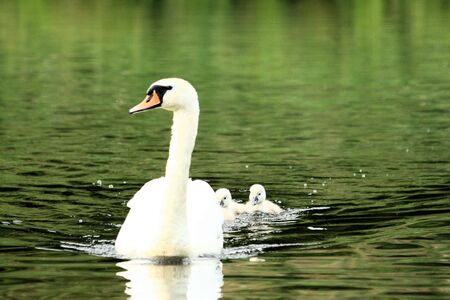 ugly duckling: mother swan swiming with chicks Stock Photo
