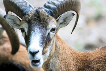 close-up of a wild goat photo