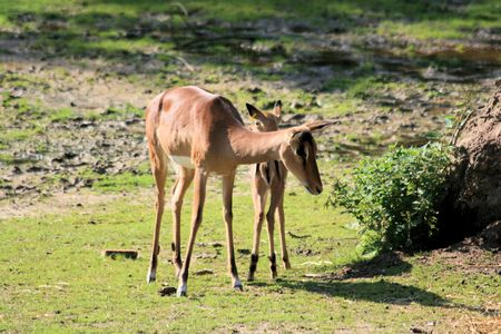 zoo youth: mother dear and calf