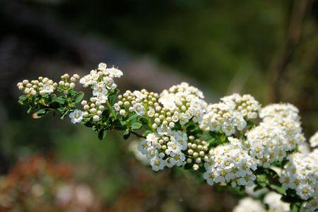 spiraea japonica blossoming photo