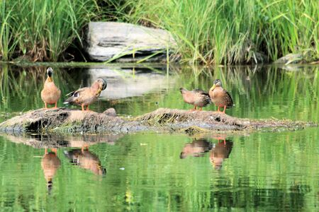 ducks resting with reflexion in the water Stock Photo
