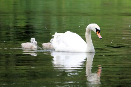 ugly duckling: mother swan Stock Photo