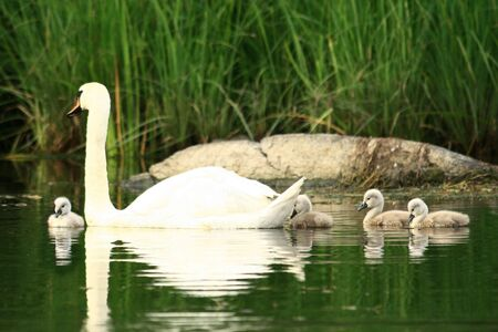 ugly duckling: family of swans