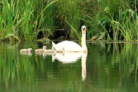 reflexion: familia del cisne con la reflexi�n Foto de archivo