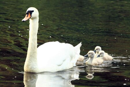 hatchling: Mother swan with chicks Stock Photo