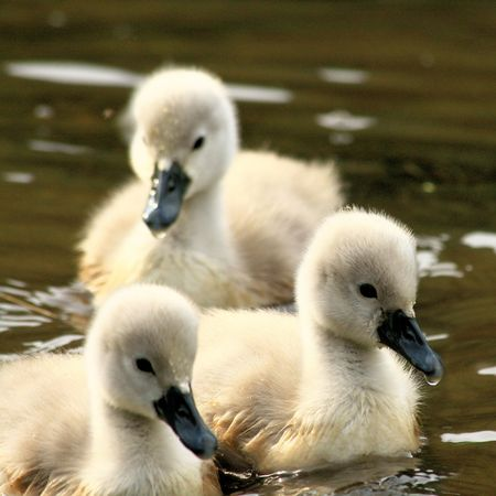 ugly duckling: lovely swan chicks Stock Photo