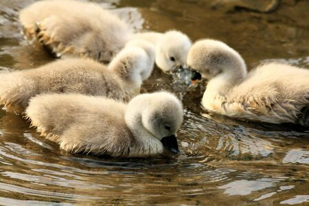 ugly duckling: cute swan chicks