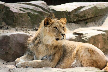 beautiful male lion photo