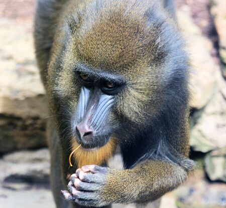 mandrill photo