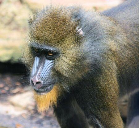 mandrill: joung male mandrill