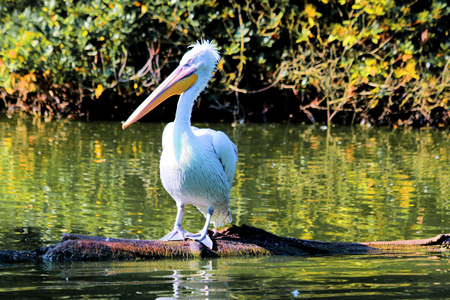 emigrant: pelican resting on a fallen tree