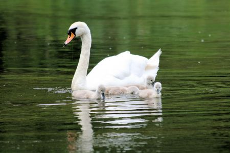 ugly duckling: swan with chicks
