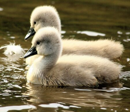 hatchling: two lovely ugly ducklins Stock Photo