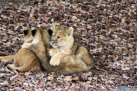 felid: lion cubs