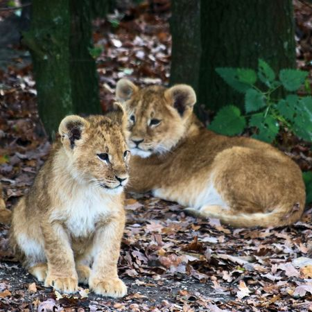 beast ranch: two lion cubs