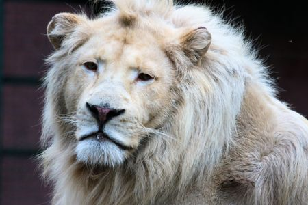 felid: White Lion