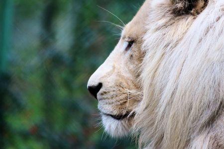 felid: beautifull white lion