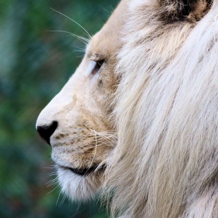 felid: head of white lion