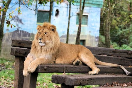 beast ranch: lovely male lion resting