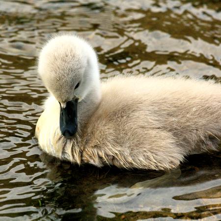 aquatic bird: swanchick