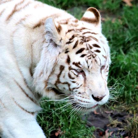 felid: head of white tiger Stock Photo
