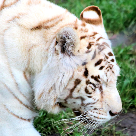 tigre blanc: fermer du tigre blanc Banque d'images