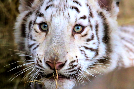 felid: or white tiger cub