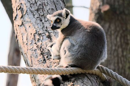 ring tailed: ring tailed lemur on a rope Stock Photo