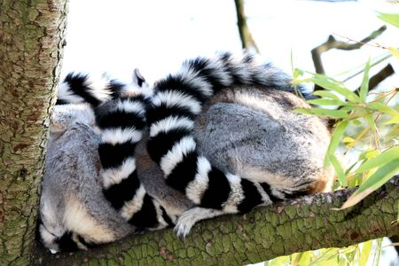 ring tailed: Two ring tailed lemurs cozy togetherness