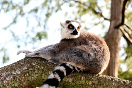 ring tailed: ring tailed lemur in a tree